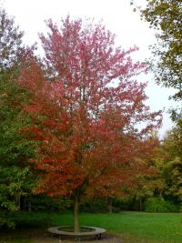 Acer rubrum  'Red Sunset' - Rotahorn