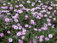 Aster dumosus  'Peter Harrison'  Kissenaster Pflanze
