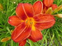 Hemerocallis   'Chicago Fire'  Taglilie Blüten