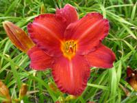 Denivka 'Chicago Apache' (Hemerocallis hybrida)