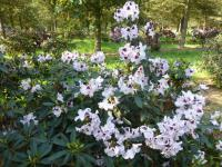 Rhododendron 'Hyperion'  Alpenrose Pflanze
