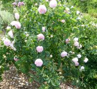 Rosa 'Maidens Blush'  Rose Pflanze
