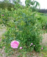 Rosa  'Marie Louise'  Rose Pflanze