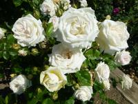 Rosa 'Madame Anisette'  Rose Pflanze