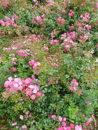 Rosa    'Lovely Fairy'  Rose Pflanze