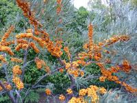 Sanddorn Hippophae rhamnoides  'Orange Energy'