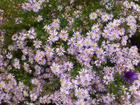 Symphyotrichum lateriflorum  'Coombe Fishacre'  - Waagerechte Aster