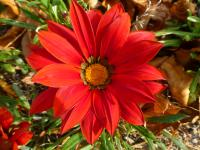 Mittagsgoldblume Gazania rigens  'Kiss Frosty Red'