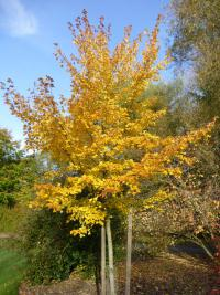Acer rubrum 'Scanlon'  Rot-Ahorn Pflanze