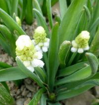 Modřenec 'White Magic' (Muscari aucheri)