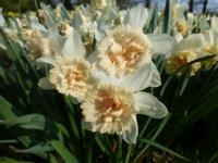 Narcissus 'Petit Four'  Narzisse Pflanze