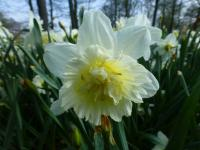 Narcissus          'Ice King'  Narzisse Blüten