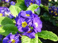 Prvosenka 'You and Me Blue' (Primula x polyantha)