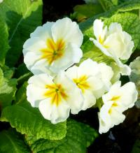 Prvosenka 'You and Me Cream' (Primula x polyantha)