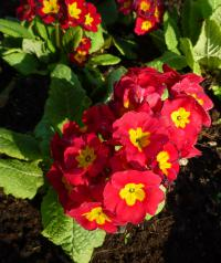 Prvosenka 'You and Me Red' (Primula x polyantha)