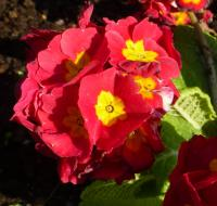 Gartenprimel Primula x polyantha  'You and Me Red'
