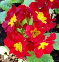 Prvosenka 'You and Me Red' - květ (Primula x polyantha)