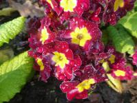 Prvosenka 'You and Me Maroon Laced' (Primula x polyantha)