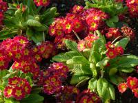 Primula x polyantha 'You and Me Red Laced'  Gartenprimel Pflanze