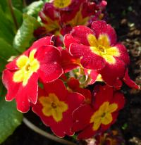 Primula x polyantha     'You and Me Red Laced'  Gartenprimel Blüten