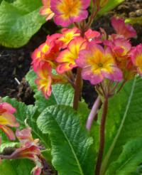 Prvosenka 'You and Me Orange' (Primula x polyantha)