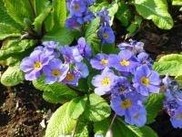 Prvosenka 'You and Me Denim' (Primula x polyantha)