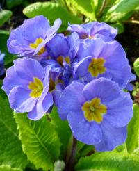 Primula x polyantha 'You and Me Denim'  Gartenprimel Blüten