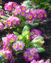 Primula x polyantha  'You and Me Rose'  Gartenprimel Pflanze