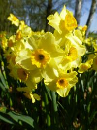 Narcissus   'Golden Dawn'  Narzisse Pflanze