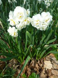 Narcissus  'Bridal Crown' - Narzisse