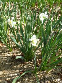 Narzisse Narcissus  'Cheerfulness'
