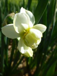 Narcissus   'Cheerfulness'  Narzisse Blüten