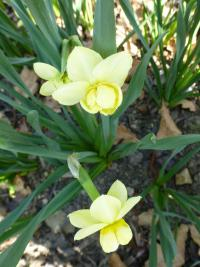 Narzisse Narcissus  'Yellow Cheerfulness'