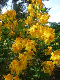 Alpenrose Rhododendron  'Goldpracht'