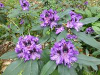 Alpenrose Rhododendron  'Blue Jungs'