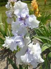 Iris barbata 'Little Much'  Bart-Schwertlilie Blüten