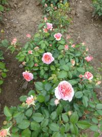 Rosa 'Chippendale'  Rose Pflanze