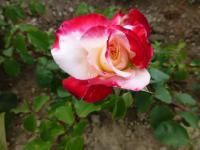 (Rosa) Růže 'Double Delight'
