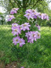 Clematis  'Crystal Fountain' - Waldrebe