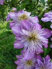 Waldrebe Clematis  'Crystal Fountain'