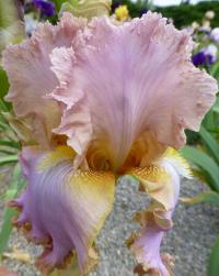 Iris barbata    'Fairy's Prom Dress'  Bart-Schwertlilie Blüten