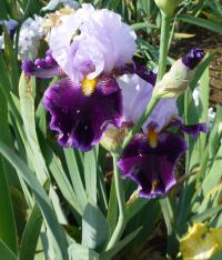 Iris barbata 'High Point'  Bart-Schwertlilie Blüten