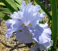 Kosatec bradatý 'Blue Reflection' (Iris barbata elatior)