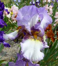 Iris barbata      'On the Go'  Bart-Schwertlilie Blüten