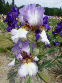 Iris barbata 'On the Go'  Bart-Schwertlilie Pflanze