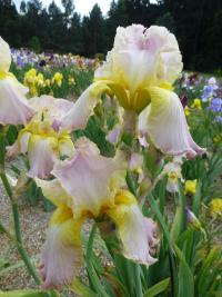 Iris barbata 'Chantilly'  Bart-Schwertlilie Pflanze