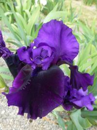 Iris barbata  'Midnight Treat' - Bart-Schwertlilie