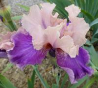 Bart-Schwertlilie Iris barbata  'My True Love'