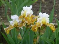 Bart-Schwertlilie Iris barbata  'Going Green'
