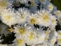 Chrysanthemum x grandiflorum  'Celie'  Chrysantheme Pflanze